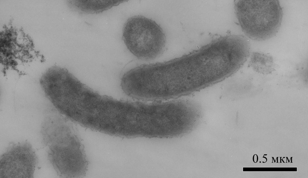Бактерия.jpg