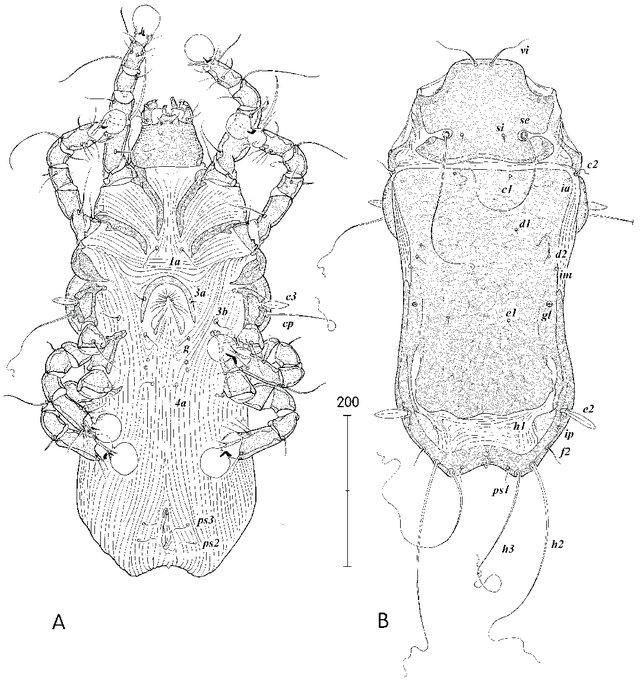 Coraciacarus-muellermotzfeldi.jpg